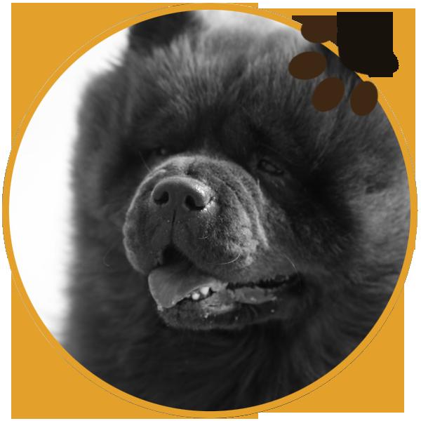 chow chow black dog puppys sitting beautiful funny (4)