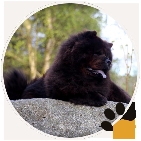 chow chow black dog puppys sitting beautiful funny (6)