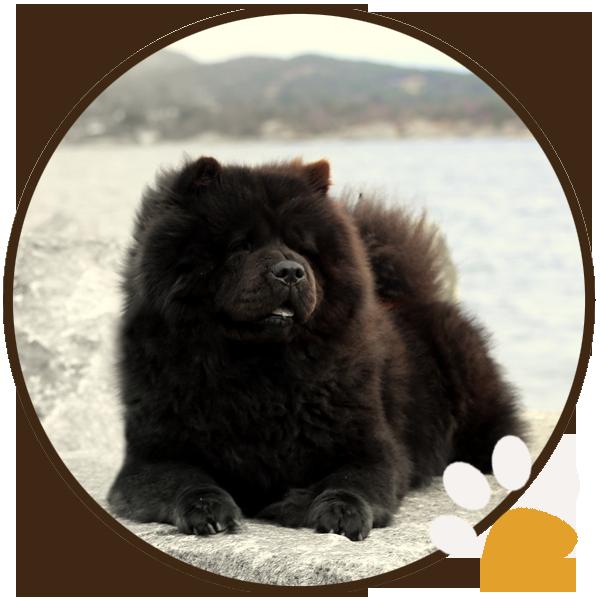 chow chow black dog puppys sitting beautiful funny (7)