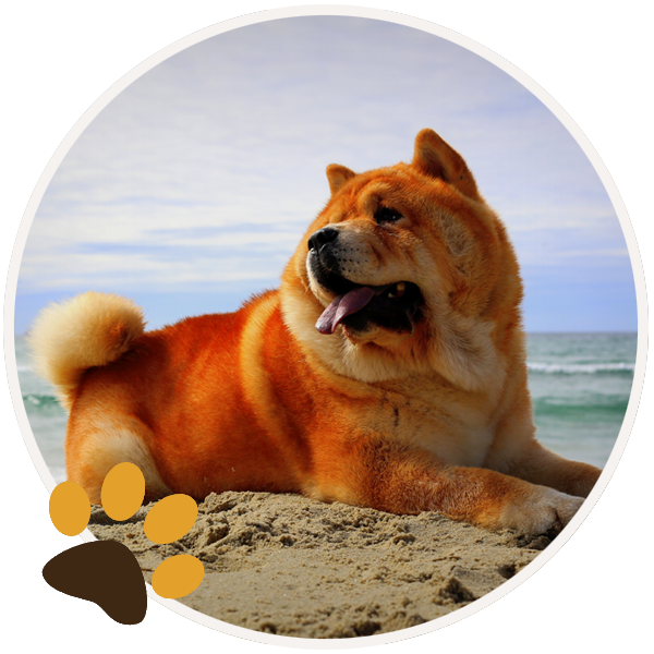chow chow dog yellow sitiing beautiful funny paws (1)