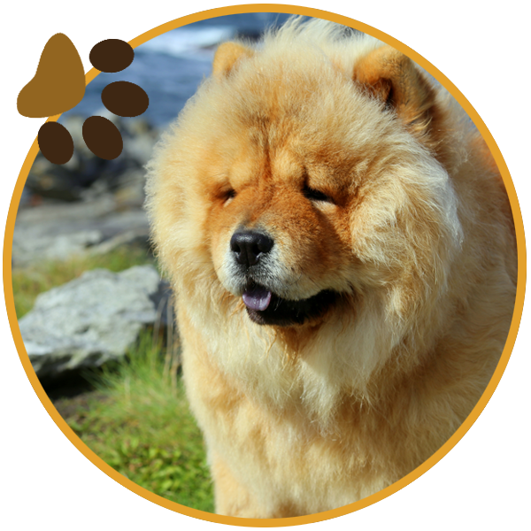 chow chow dog yellow sitiing beautiful funny paws (2)