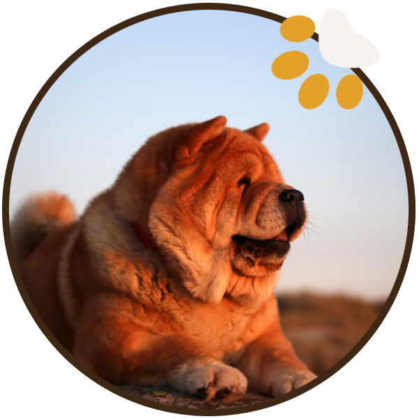 chow chow dog yellow sitiing beautiful funny paws (3)