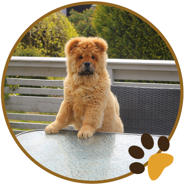 chow chow dog yellow sitiing beautiful funny paws (4)
